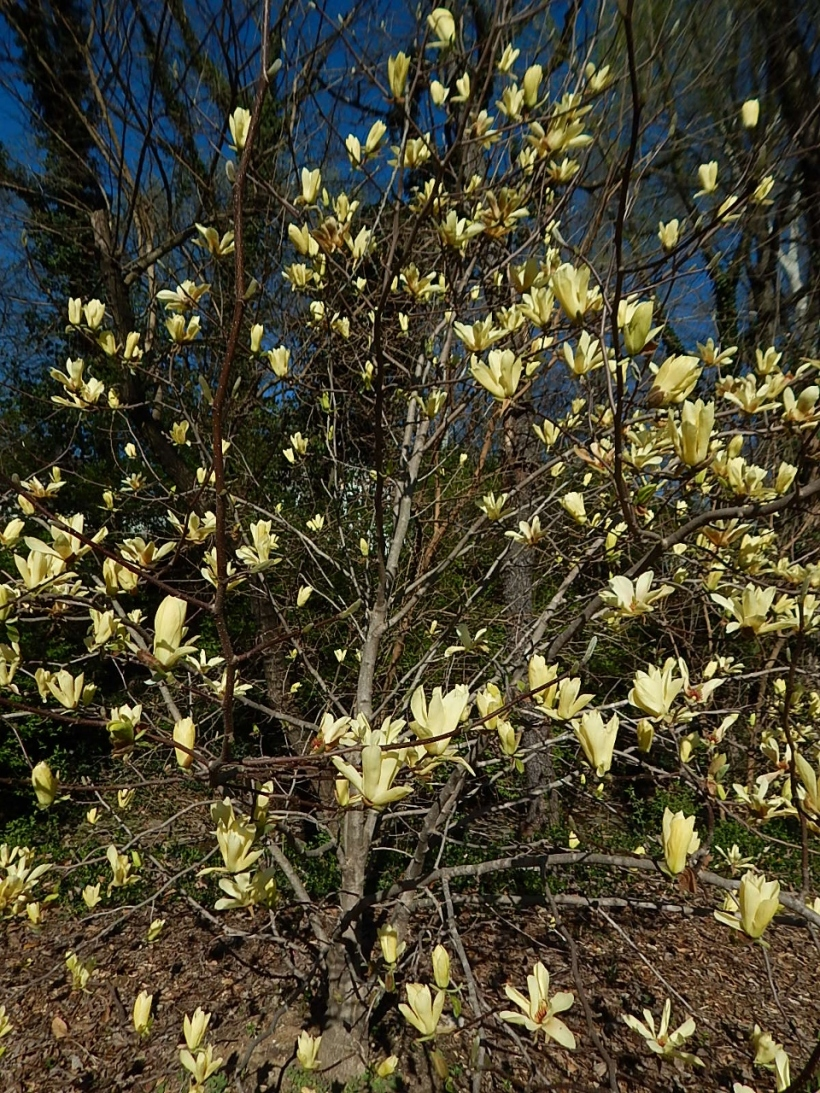 yellow magnolia (960x1280)