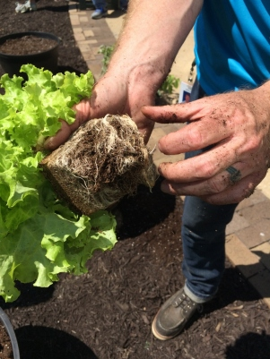 Lettuce (768x1024)