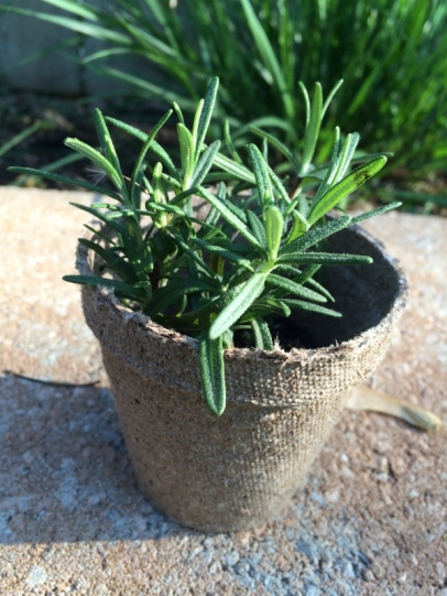 Rosemary peat pot (600x800)