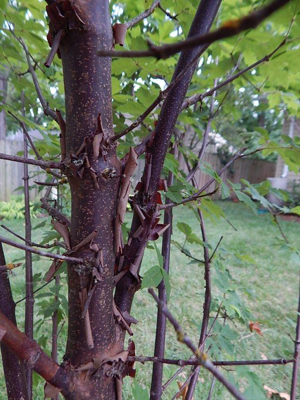 peeling bark maple
