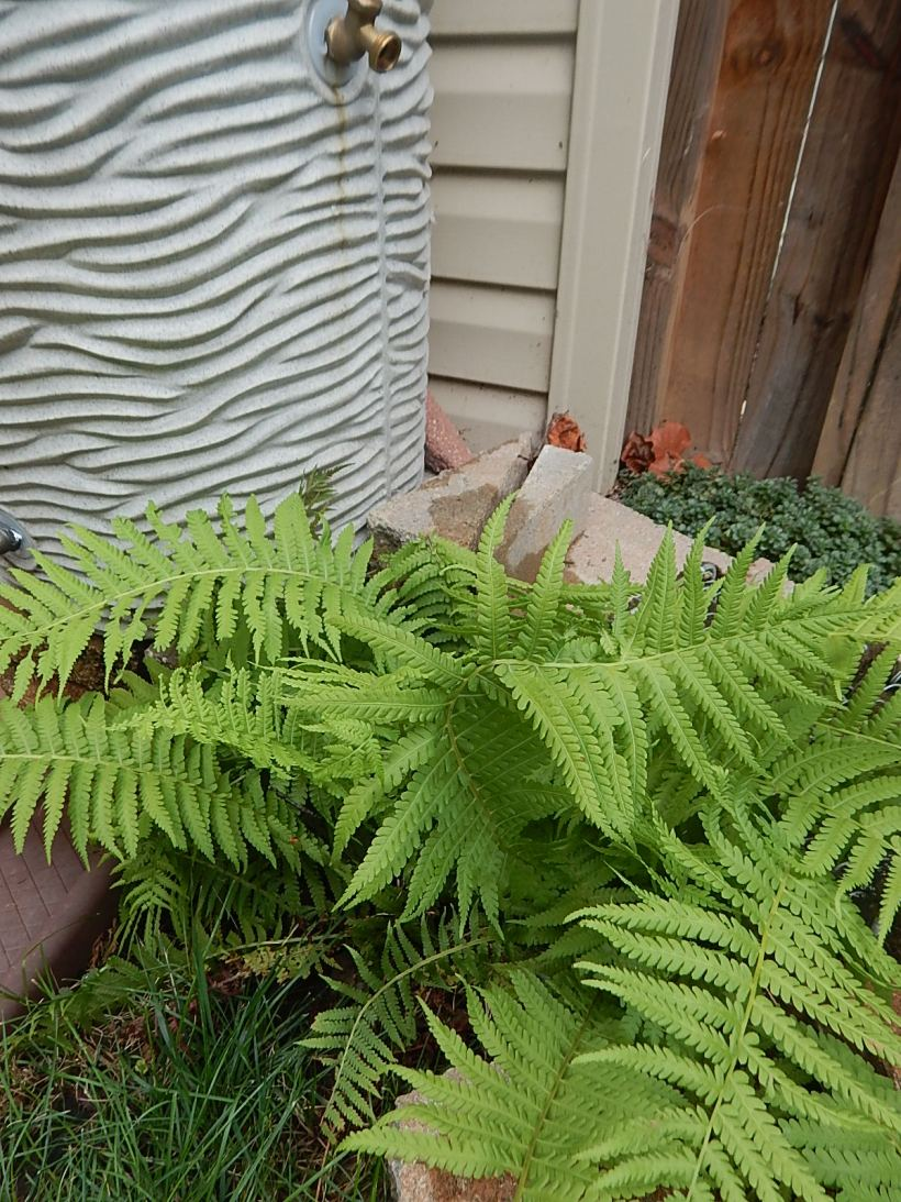 Fern by rainbarrel