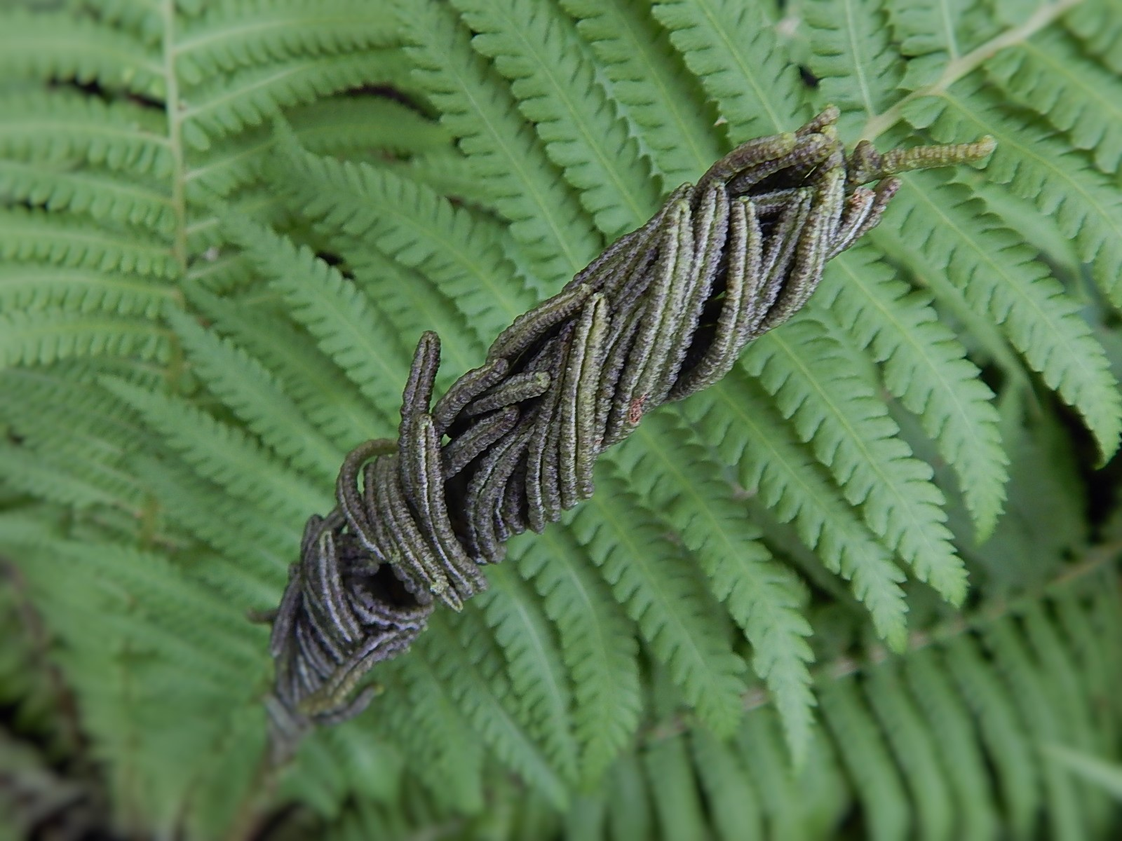 fern fertile frond close up