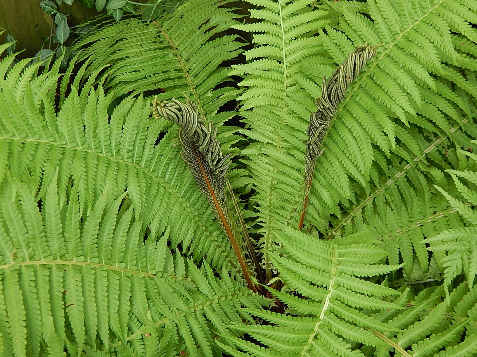 Ostrich fern fertile frond