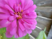 Zinnia double bloom