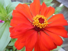 Zinnia red orange