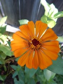 zinnia yellow orange