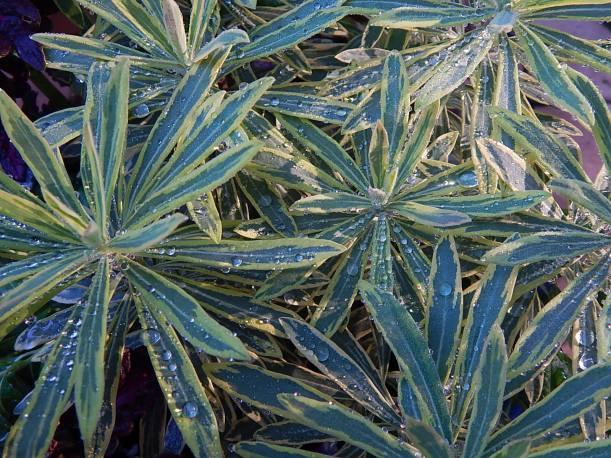 raindrops Euphorbia