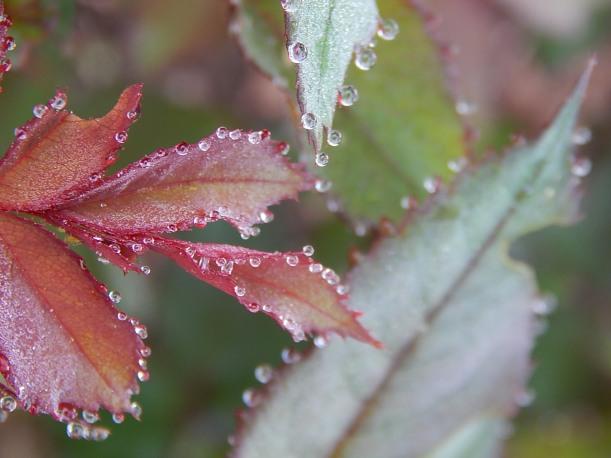raindrops roses 2